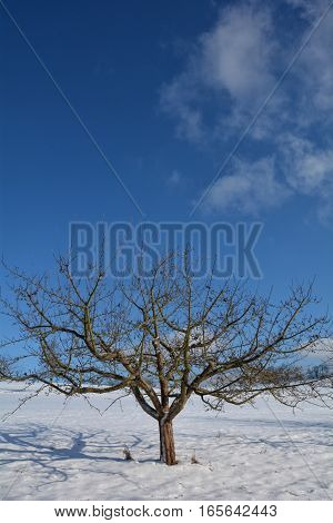 A tree in the snow with much blue sky