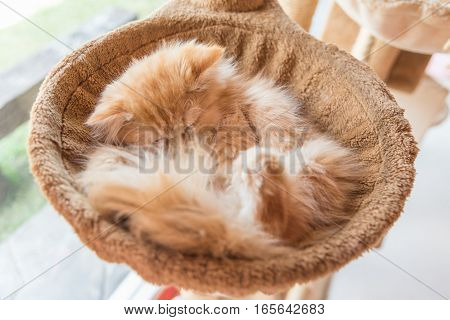 Young persian cat lying in a basket.