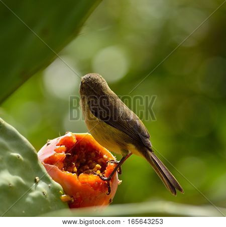 Back view of small phylloscopus bird on prickly pear and ready to eat