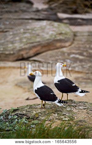 Seagull   In South Africa   Coastline Cape