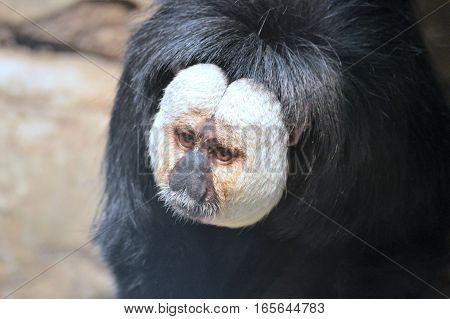 A close up of a Saki monkey