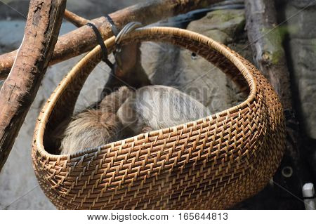 A sloth sleeping in a hanging basket
