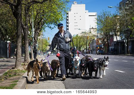 Buenos Aires Argentina - October 8 2013: Dog walker (Pasea Peros) with a pack of dogs in a street of the San Telmo neighborhood in the city of Buenos Aires Argentina.