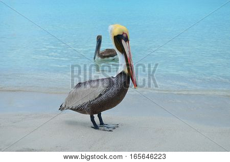 Pelican with golden head and light blue eyes at the caribbean seaside, and brown pelican swimming behind