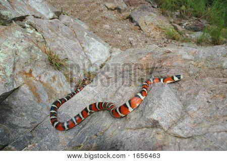Sonoran Mountain Kingsnake