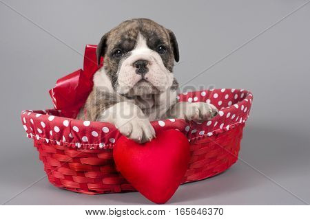 Cute English bulldog puppy with heart on a gray background