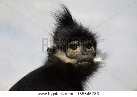 A close up of a Francois Langur Monkey