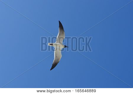 Seagull flying, with opened wings, on a sunny day, photographed from below.