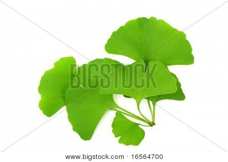 Ginkgo biloba leaf, isolated on white.