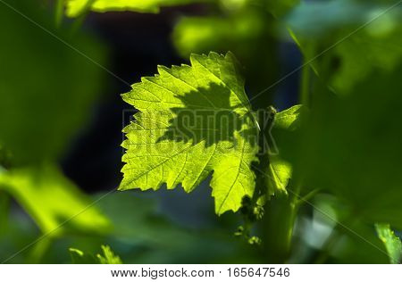 gentle young green grape leaves in the spring, closeup, natural background