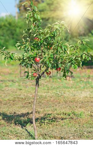 Red apple on branch. Early autumn harvest. Natural rural background with fruit tree in sunny day. Full of vitamins, good for diet nutrition and healthy meals.