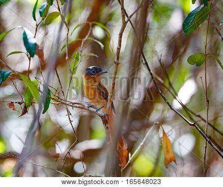 Beautiful Madagascar Bird Paradise-flycatcher