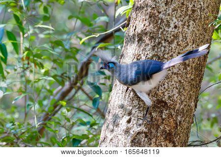 Crested Coua Bird (coua Cristata) Madagascar
