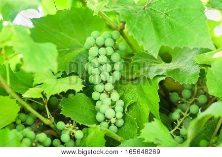 unripe white grapes ripening on the vine, agricultural background