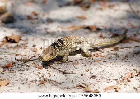 Common Small Collared Iguanid Lizard, Madagascar