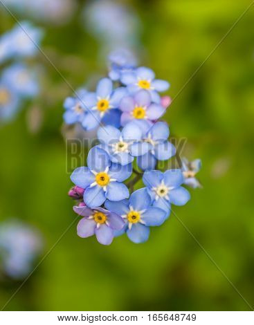 Fower - Forget Me Not from family Boraginaceae betiful flower as it his name.