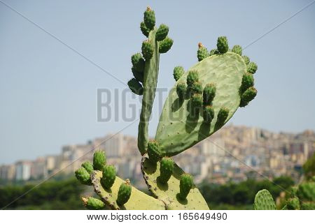 Cactus at Agrigento greek temple, in Sicily, Italy