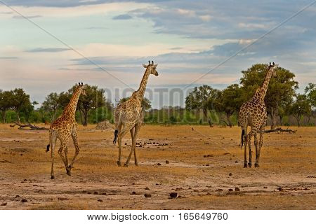 Journey of Giraffes walking across the open plains in Hwange National Park, Zimbabwe, Southern Africa
