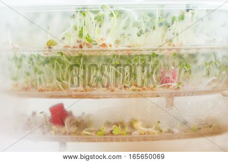 Sprouts growing in container. Healthy mixed sprouts growing in home.