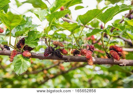Red mulberry fruit on tree Berry in nature.