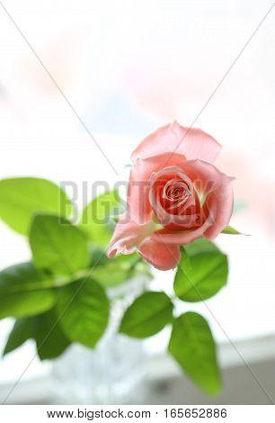Close up of beautiful pink rose, soft focus