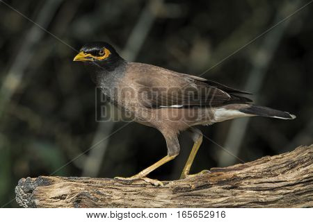 Closeup of an Asian Native Myna Bird (Acridotheres tristis.)