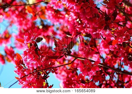 Hot pink spring blossom of judas tree (cercis chinensis).
