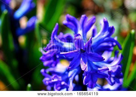 Blue fragrant flowering plant hyacinth close up in spring flower bed. Sunny day.