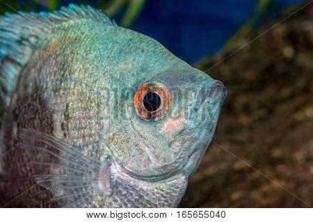 Portrait Of Cichlid Fish (pterophyllum Scalare)