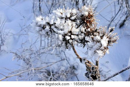 the plant burdock is covered with snow crystals
