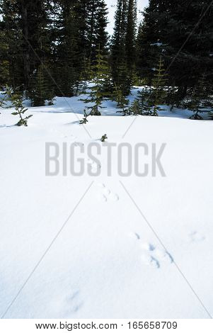 Footprint of Dear in Winter Canadian Rockies Alberta Canada