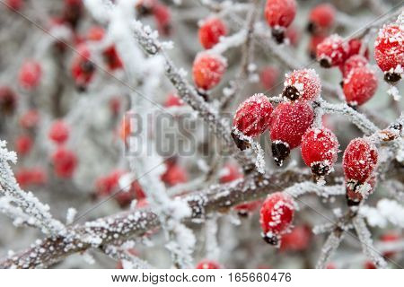 Rosa canina, dog-rose with ripened fresh red fruits, rosehips, frozen shrub, snow, two, sunlight
