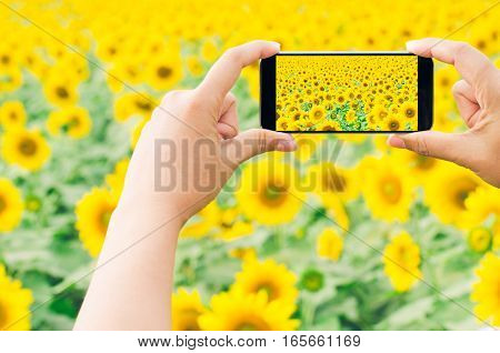 Hands taking photo sunflowers in the field with smartphone