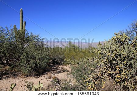 Cactus in Saguaro botanical garden in America