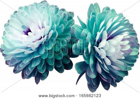 turquoise-pink flowers chrysanthemum. transparent isolated background with clipping path. Closeup no shadows. For design. Nature.