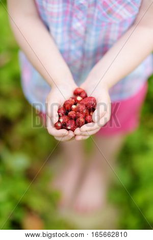 Close-up Of Childs Hands Holding Fresh Wild Strawberries Picked At Organic Farm
