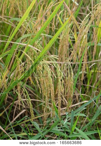 Rice, the sides of which Thailand is ready to harvest.