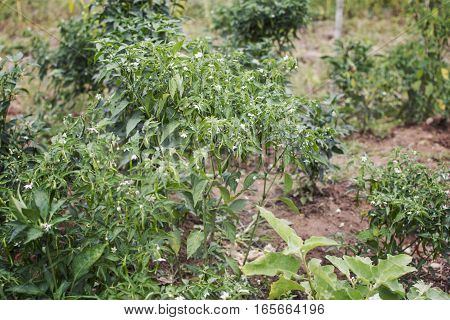 Green Chilli Peppers on the tree in nature garden.