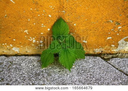 The amazing picture of grass through the asphalt