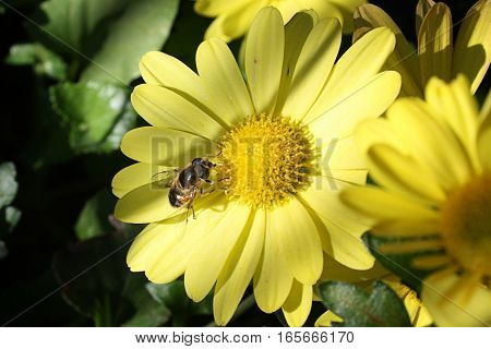 Proboscis bee collects nectar from the flowers, which through the mouth and the esophagus enters the honey ventricle