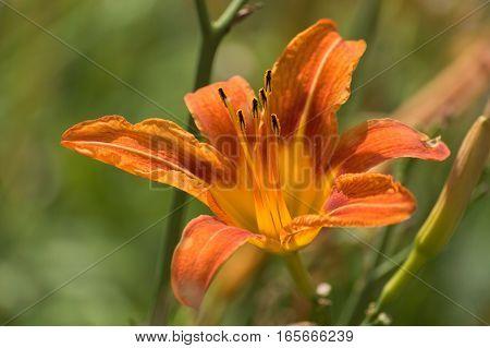 Wild orange lily flower closeup macro on a green background