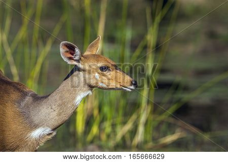 Bushbuck in Kruger national park, South Africa ; Specie Tragelaphus sylvaticus family of Bovidae