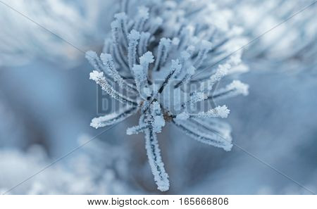 a light-blue background in the middle a pine twig with ice crystals