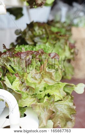 fresh lettue hydroponics for helth in garden