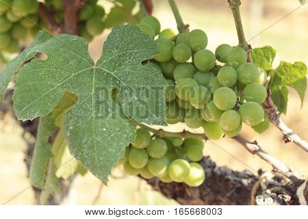 Fresh grapes in the vineyard at garden