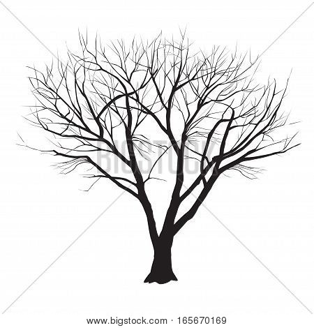 A poplar silhouette in the winter on a white background