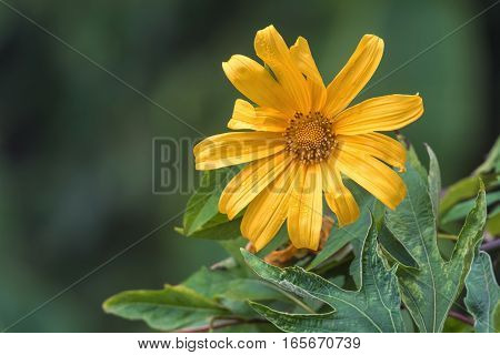 Mexican sunflower or Bua Tong yellow flower on blurred background.