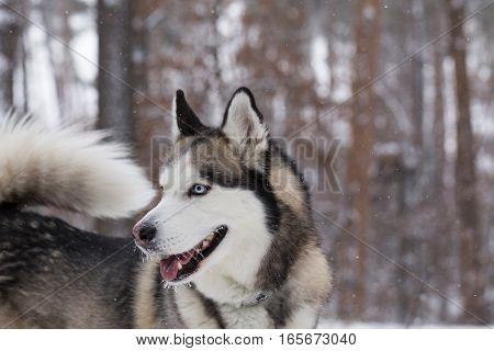 Siberian Husky closeup. Dog in winter forest.