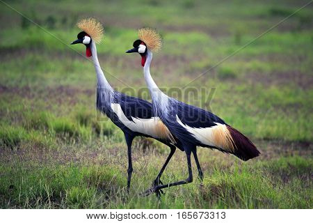 Two Grey Crowned Crane In Amboseli National Park