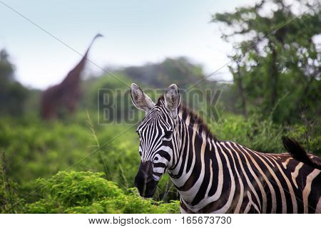 Zebra Herd On Savanna